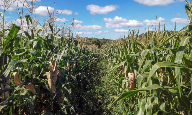 Nitrogen is an essential nutrient for plant growth