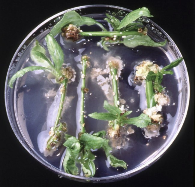 A petri dish full of poplar tree cuttings covered in goo led to the discovery that nitrogen-fixing bacteria can exist inside plants other than legumes. (Credit: Sharon L. Doty)