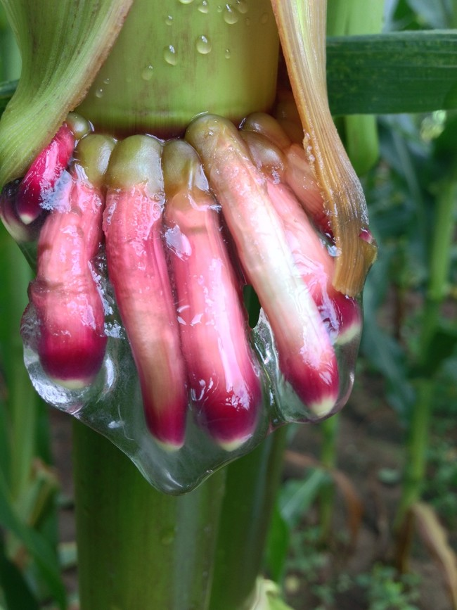 The gelatinous goo oozing from these corn plants hosts nitrogen-fixing bacteria. Discovered in the tropics of southern Mexico, these ancient varieties of maize are considered some of the oldest in the world. (Credit: Jean-Michel Ané)