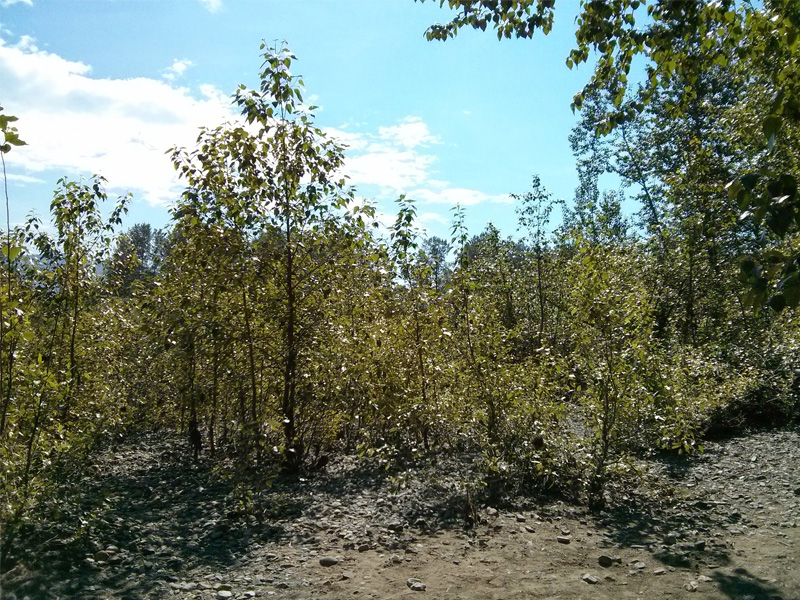 Poplar trees such as these along the Snoqualmie River able to thrive on rocky riverbanks, despite low availability of nutrients like phosphorus in their natural habitat. Microbes help these trees capture and use the nutrients they need for growth