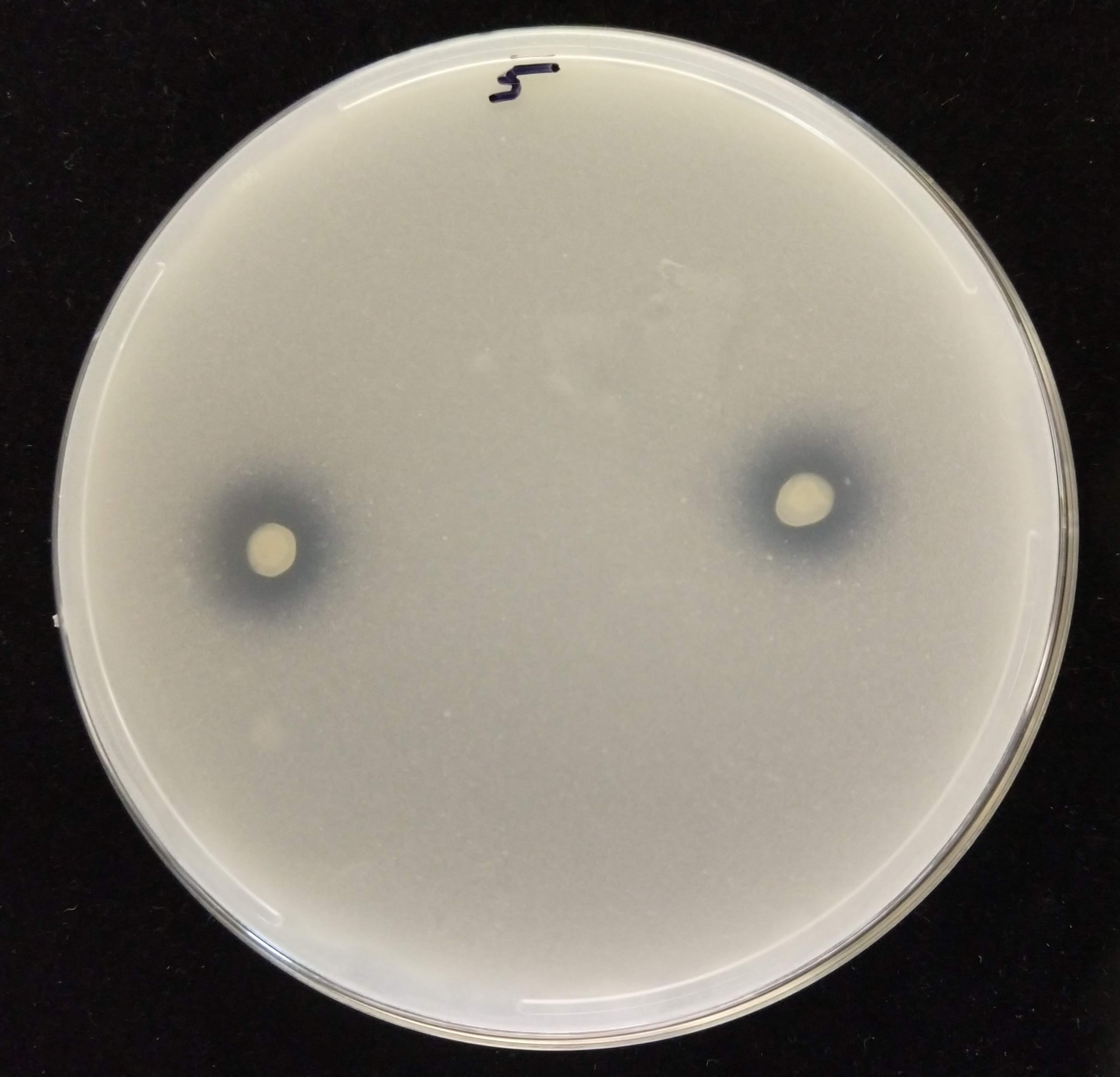 As an endophytic strain dissolves tricalcium phosphate, a clear halo is produced around the milky-white phosphate circles, as seen in this image of the process occurring in an agar medium.